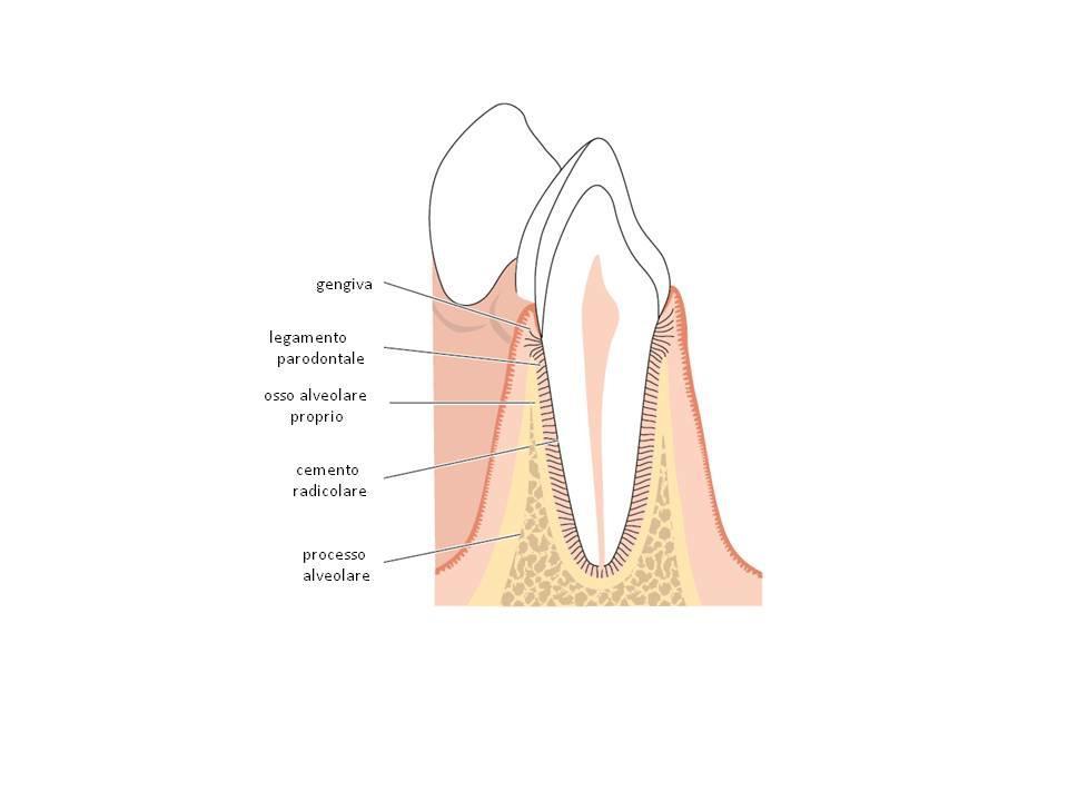 tessuti di sostegno del dente - Parodontite